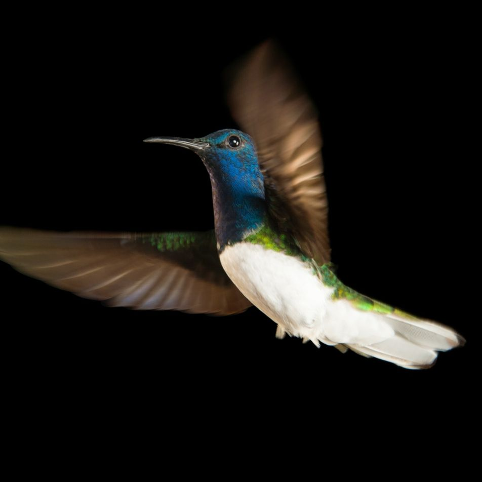 Why some female hummingbirds masquerade as males