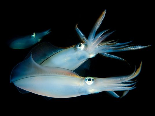 Male squid help choose a home for their mate, first-ever study shows
