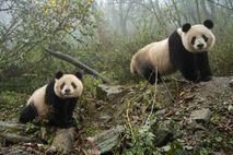 01-panda-emdangered