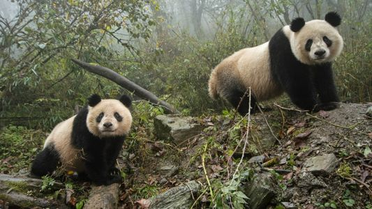 Pandas are off China's endangered list. But threats persist.