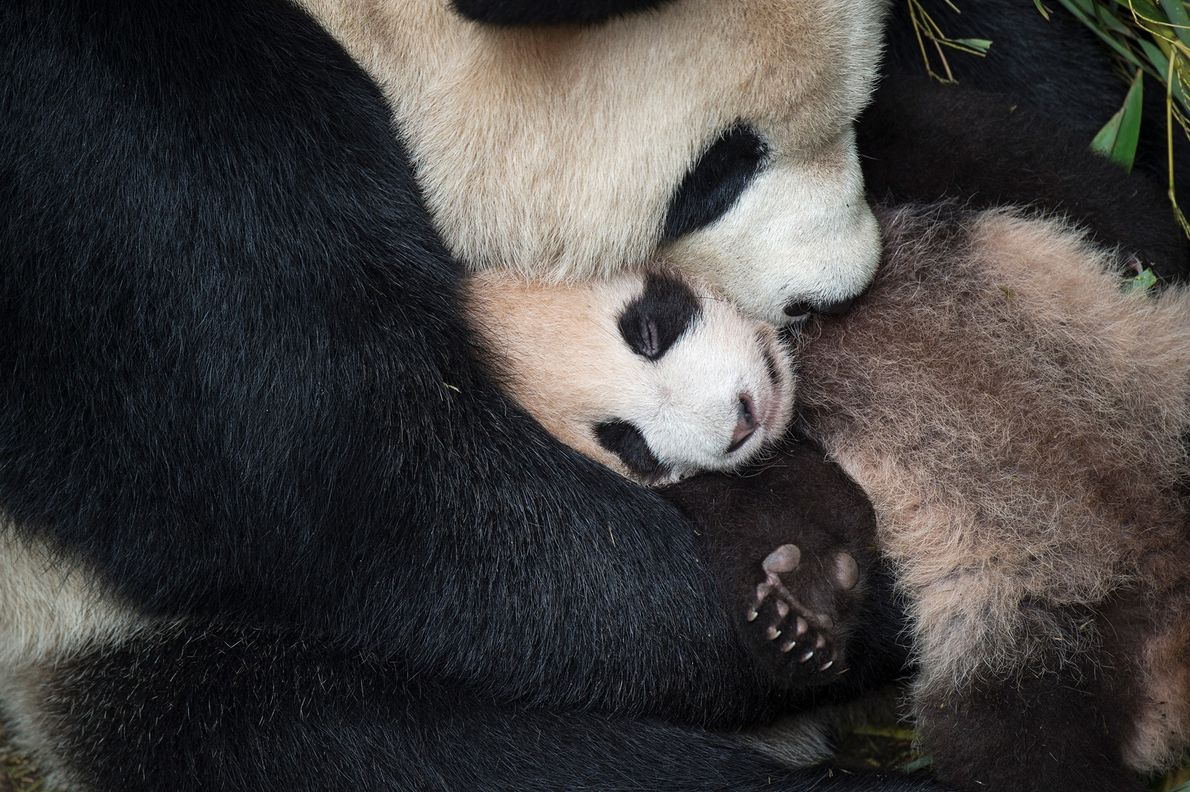 A giant panda mom cradles her cub at the Wolong Conservation and Research Centre in China. The ...