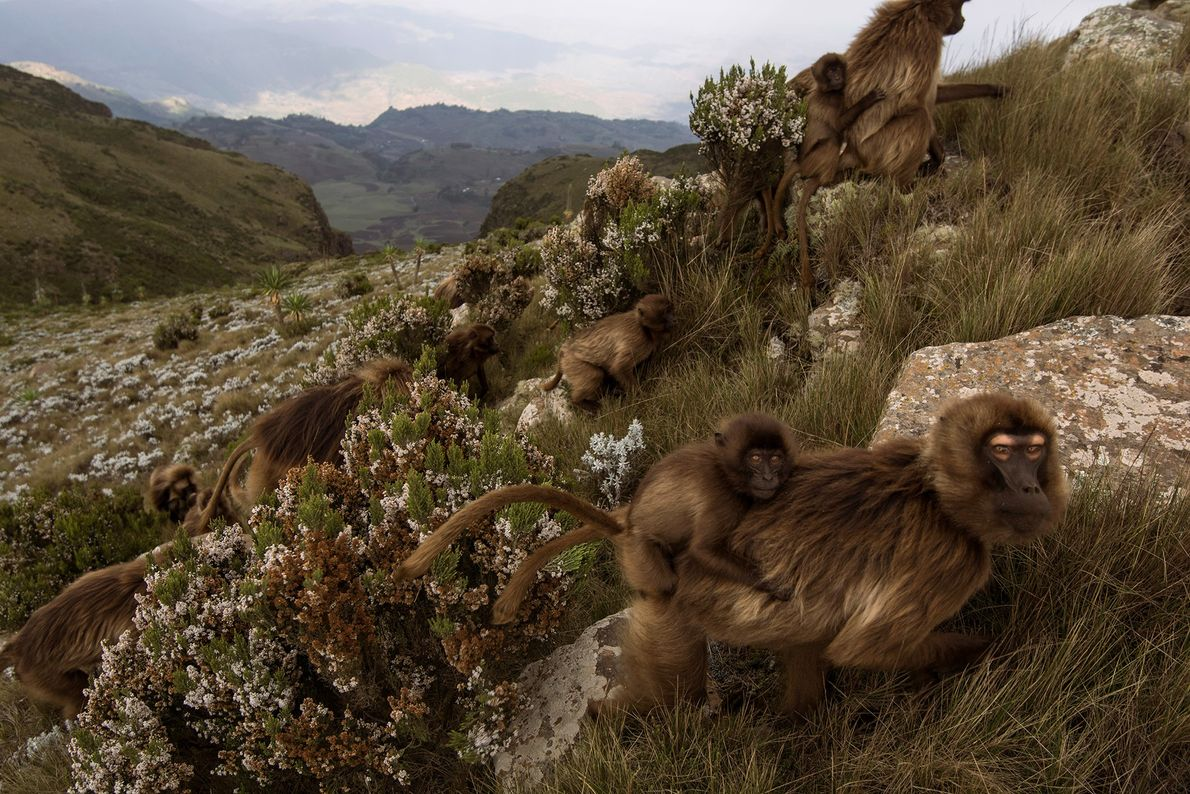 Geladas are frequently mistaken for baboons, but they are the last surviving members of the genus ...