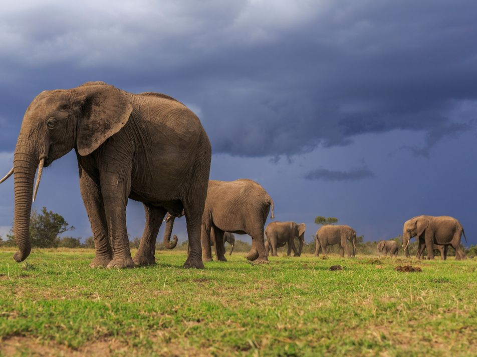 Both African elephant species are now endangered, one critically
