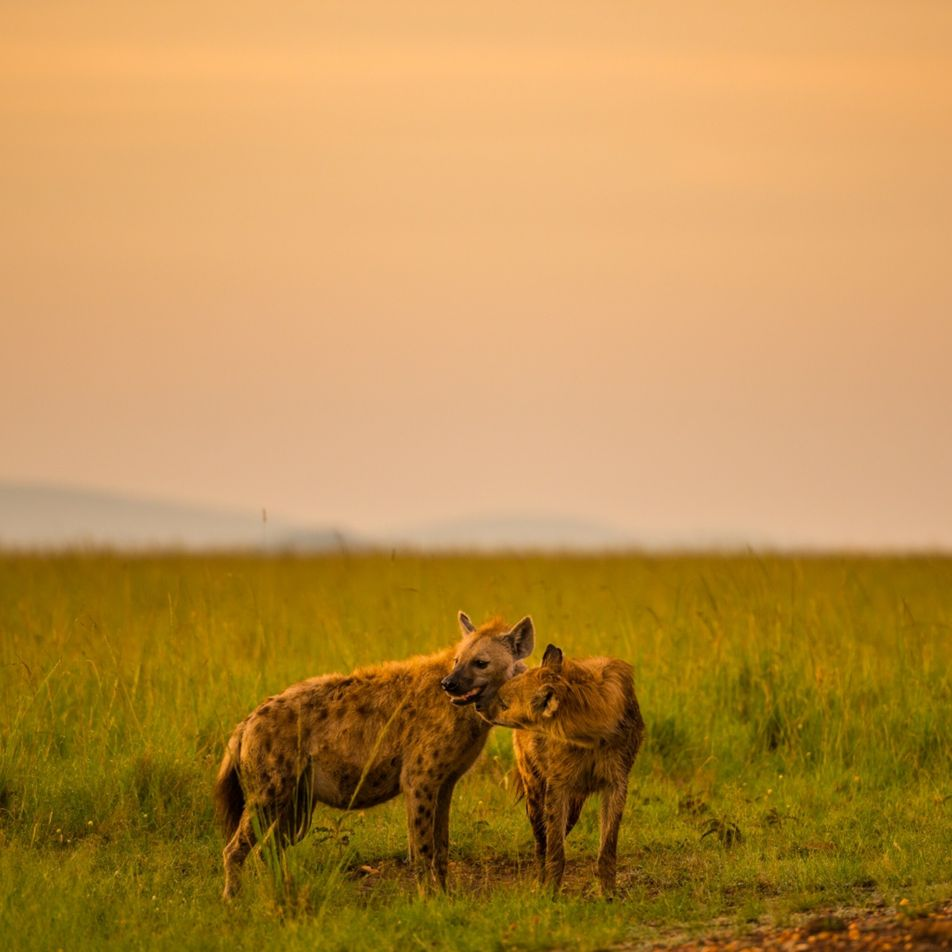 Mind-controlling parasite makes hyena cubs more reckless around lions