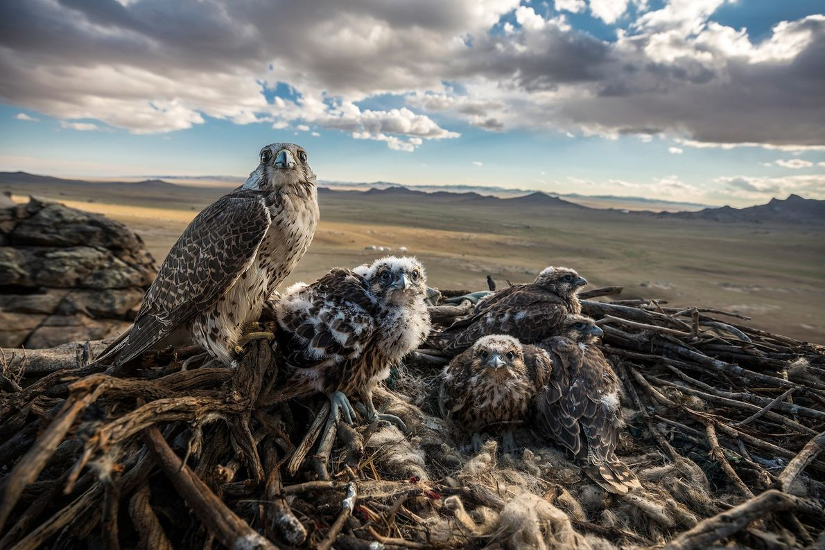 A Saker falcon and her chicks, known as eyases, take in the panoramic view across the ...