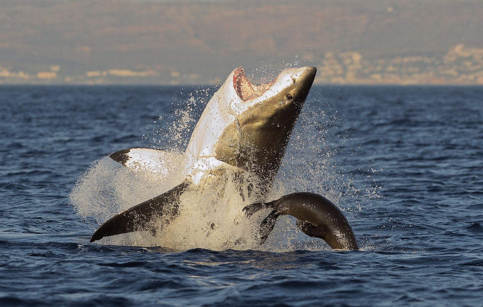 A great white shark attacks a seal by ambushing from below off the coast of South ...