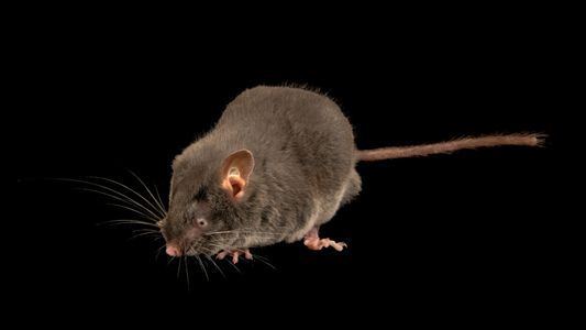 These blind mice can 'see' with their ears, a first among rodents