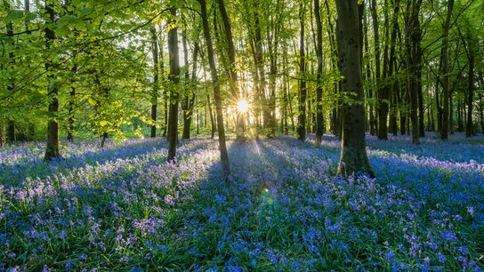 This small forest in Shaftesbury, England, is perfect for a meditative stroll—especially during bluebell season.