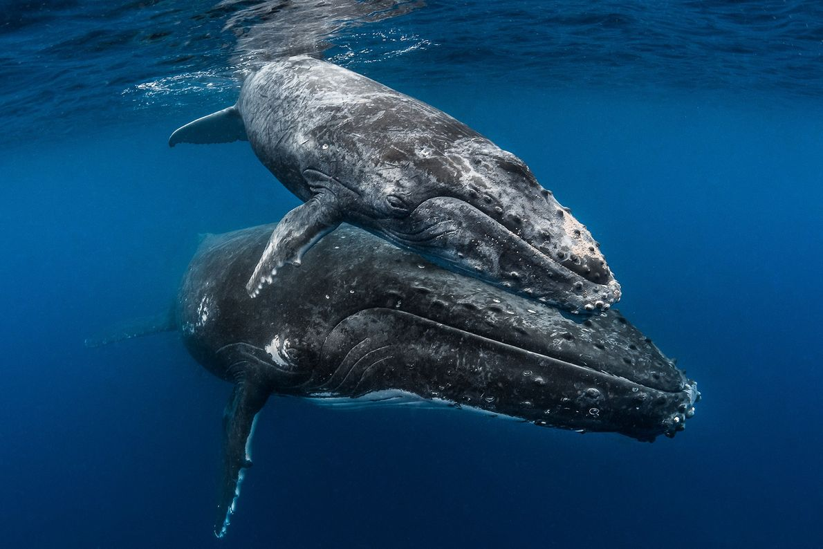 Humpback whales have a calf only every two to three years and lavish it with attention. ...
