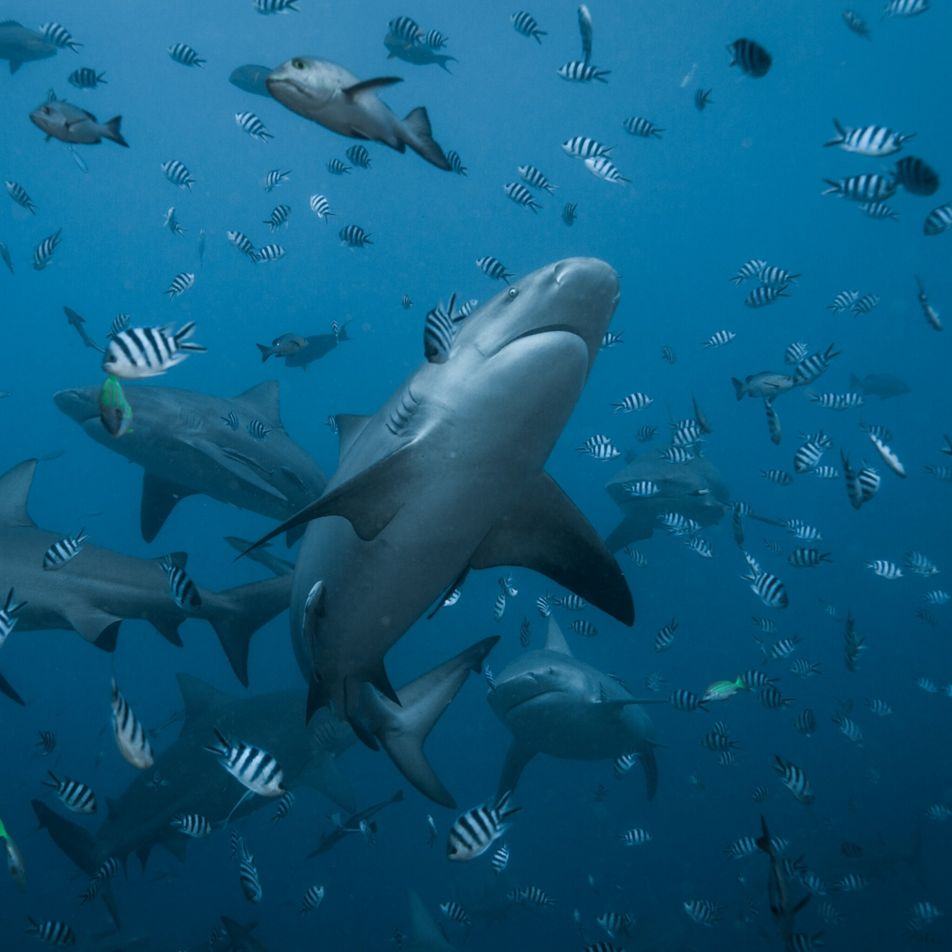Offspring of one of world's biggest bull sharks found—why that's so surprising