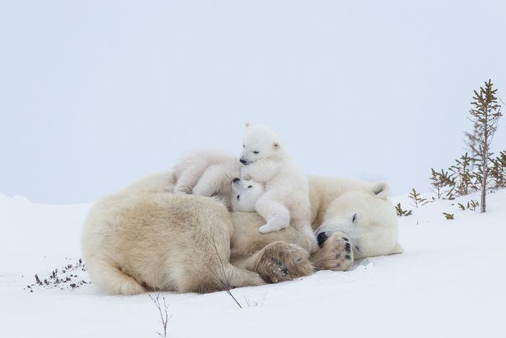 A polar bear mum rests after nursing in Wapusk National Park in Manitoba, Canada. Polar bears mate ...