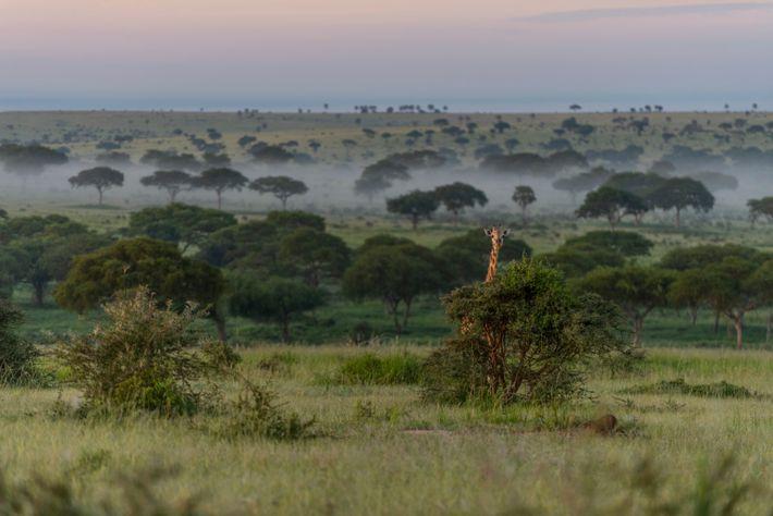 murchison-falls-rothschild-giraffe