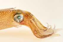 Longfin squid