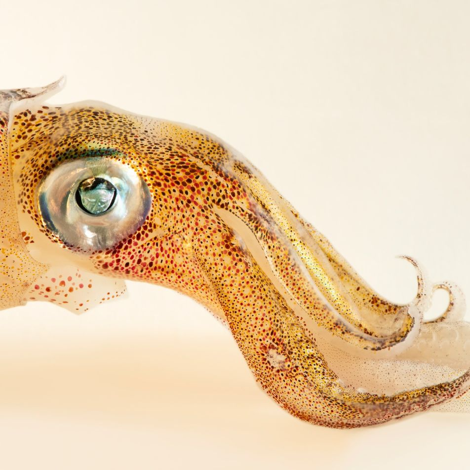Untangling mysteries of the brain—with the remarkable biology of squid
