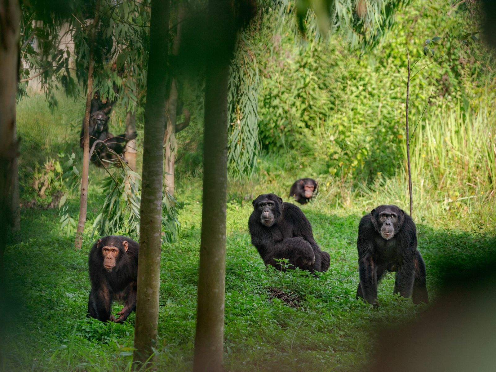 A troop of chimpanzees are seen in Uganda. Some alpha males rule using an iron fist, ...