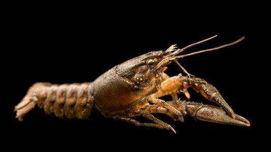 Antidepressants in waterways may make crayfish bolder, increasing risk of predation