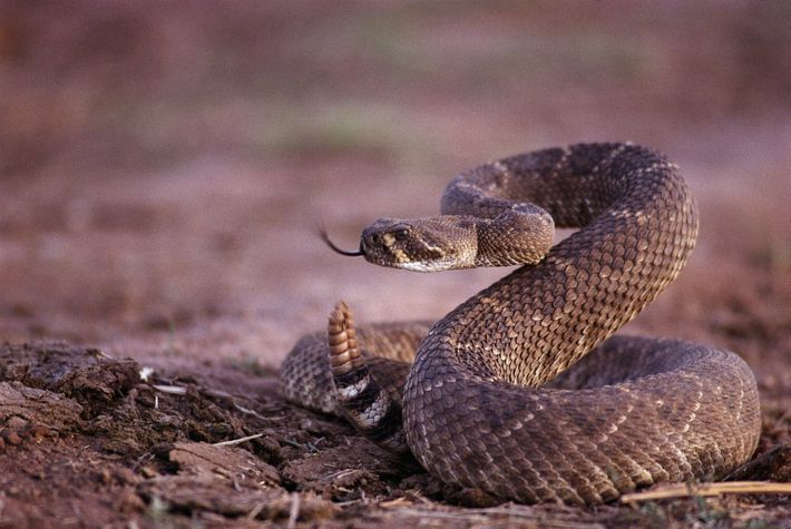 A western diamondback rattlesnake prepares to strike.