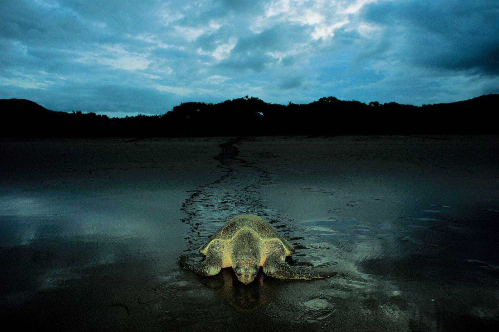 Playa Naranjo, Santa Rosa National Park, Costa Rica – and a Pacific Ridley turtle returns to ...