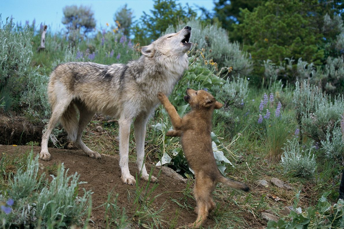 The howls of a grey wolf cause her pup to jump with excitement in Montana. Wolf families ...