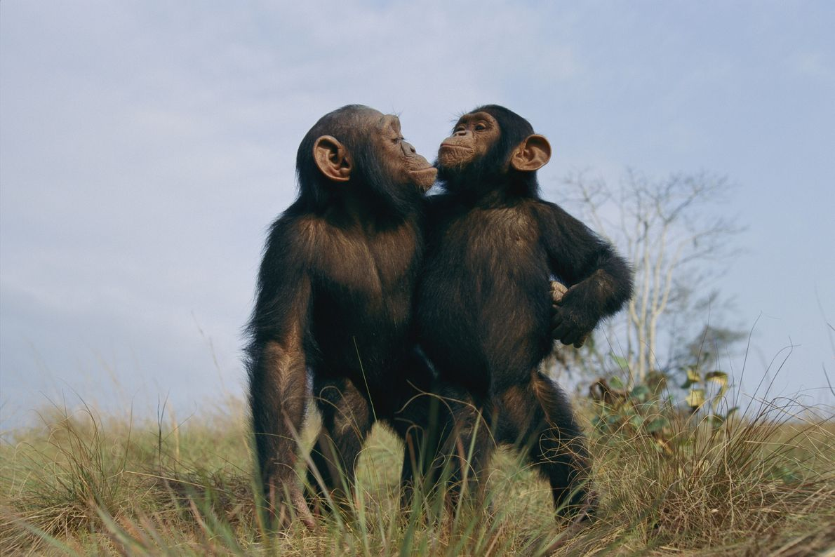 A pair of orphan chimpanzees pose together at the Tchimpounga Sanctuary in the Republic of the ...