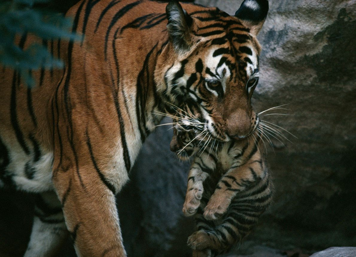 The December 1997 issue featured a profile of Sita, a female tiger who lived in India's ...
