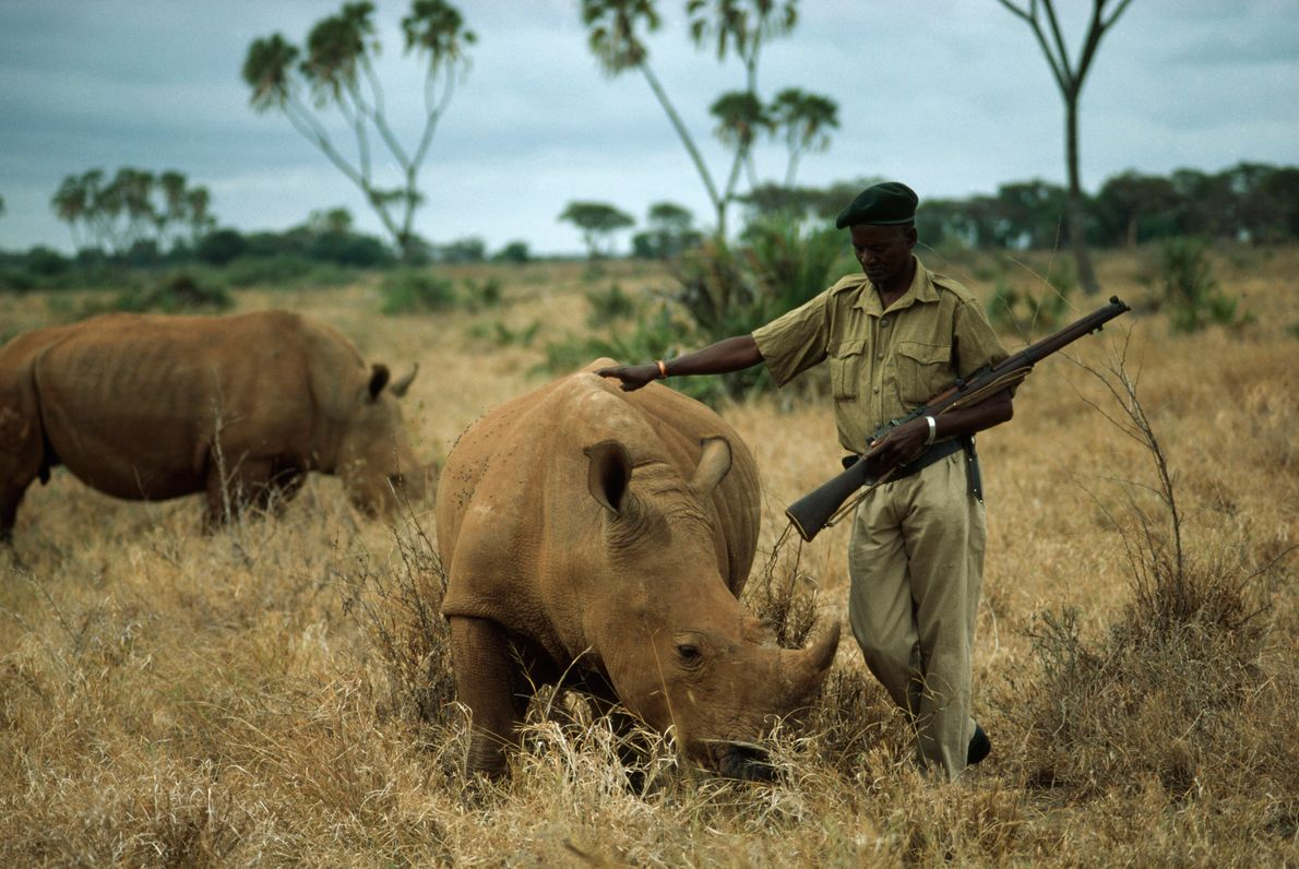An armed guard in Meru National Park, Kenya, protects endangered white rhinos from poachers. Rhinos have ...