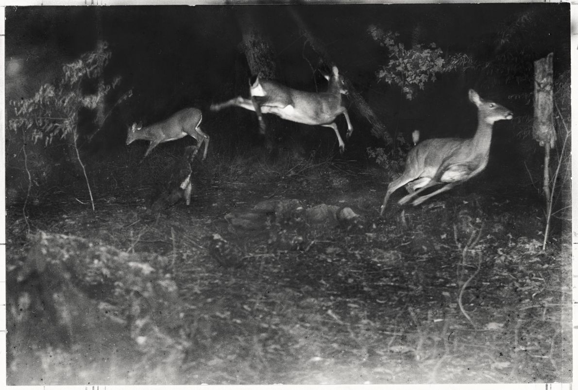 Leaping deer caught in a 'flash-trap', 1893 – believed to be amongst the first night-time photographs ...