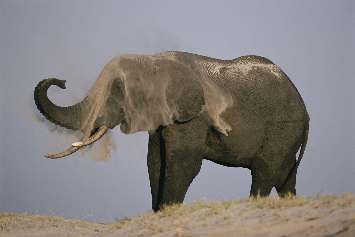In Chobe National Park, Botswana, an elephant gives himself a dust bath. The dust will keep ...