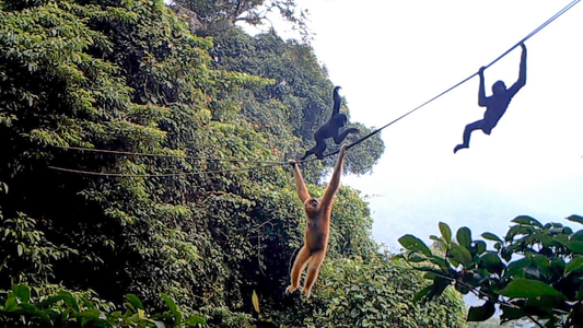 Only 30 of these primates remain on Earth. This simple rope bridge may help.