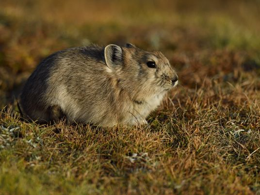 These tiny, bunny-faced animals have an unusual strategy for surviving the winter