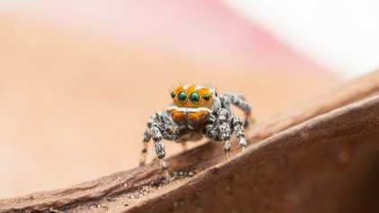 How scientists found 'Nemo,' Australia's newest dancing spider