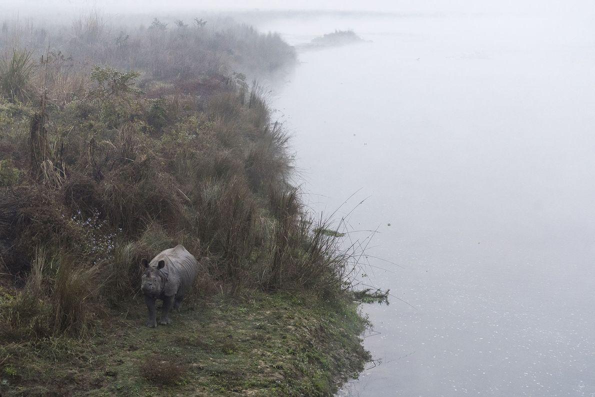 Rhino in the early morning mist, Chitwan National Park. Chitwan was declared a national park in …