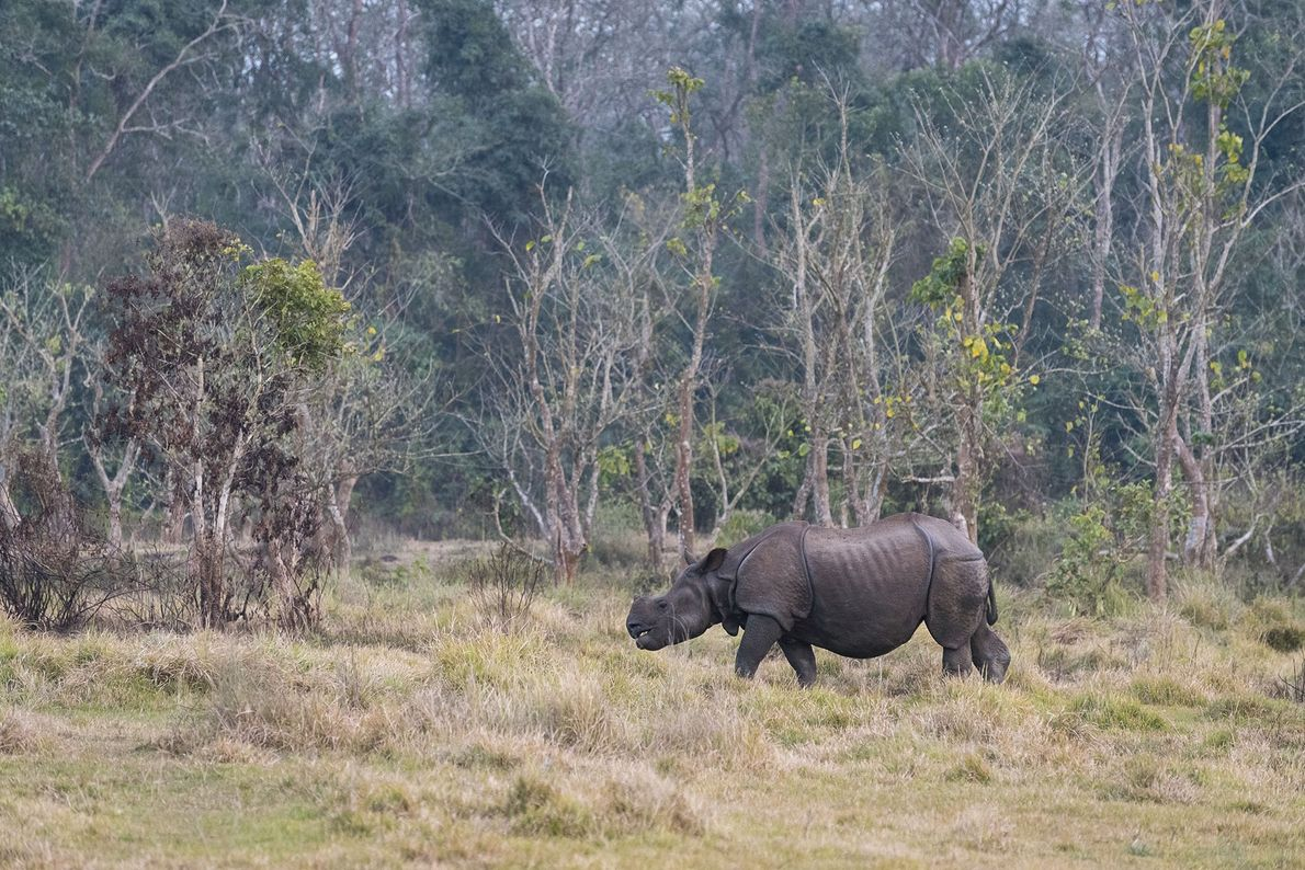 A male rhino grazing in the late afternoon. It weighs more than a jeep, stands over …