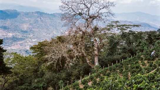 Through an agroforestry initiative, farmers are protecting their plantations with 'barrier trees' — non-coffee species that ...