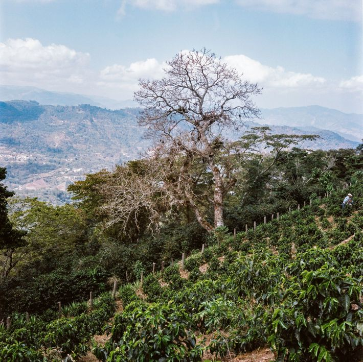 How agroforestry helps to ensure the future of coffee in Guatemala