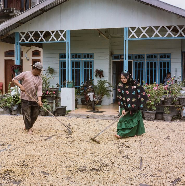 """Coffee farmers in Sumatra use an unusual """"wet"""" hulling technique to help accelerate the bean drying ..."""