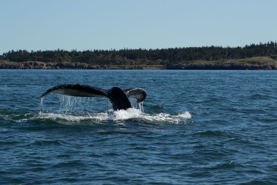 The flukes of a humpback whale in the Bay of Fundy.