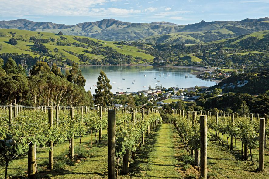 Grape vines thrive near the town of Akaroa on the Banks Peninsula of New Zealand's South Island.