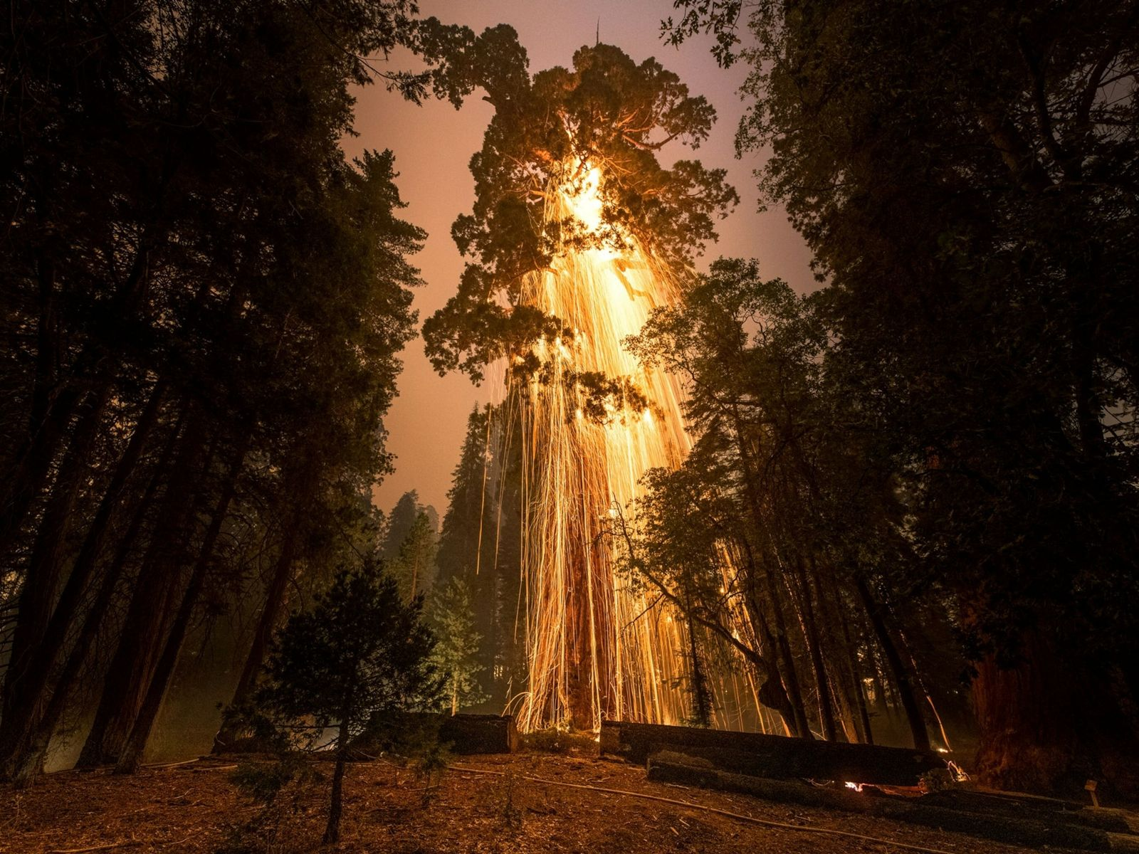 A giant sequoia burns