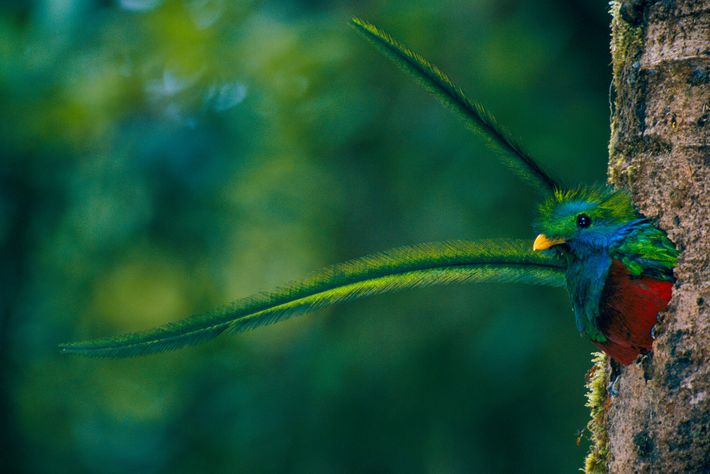 1998: In Guatemala, photographing the elusive resplendent quetzal – sacred bird of the Maya – and its ...