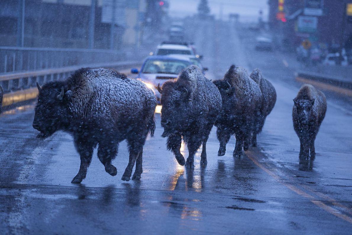I Brake for Bison