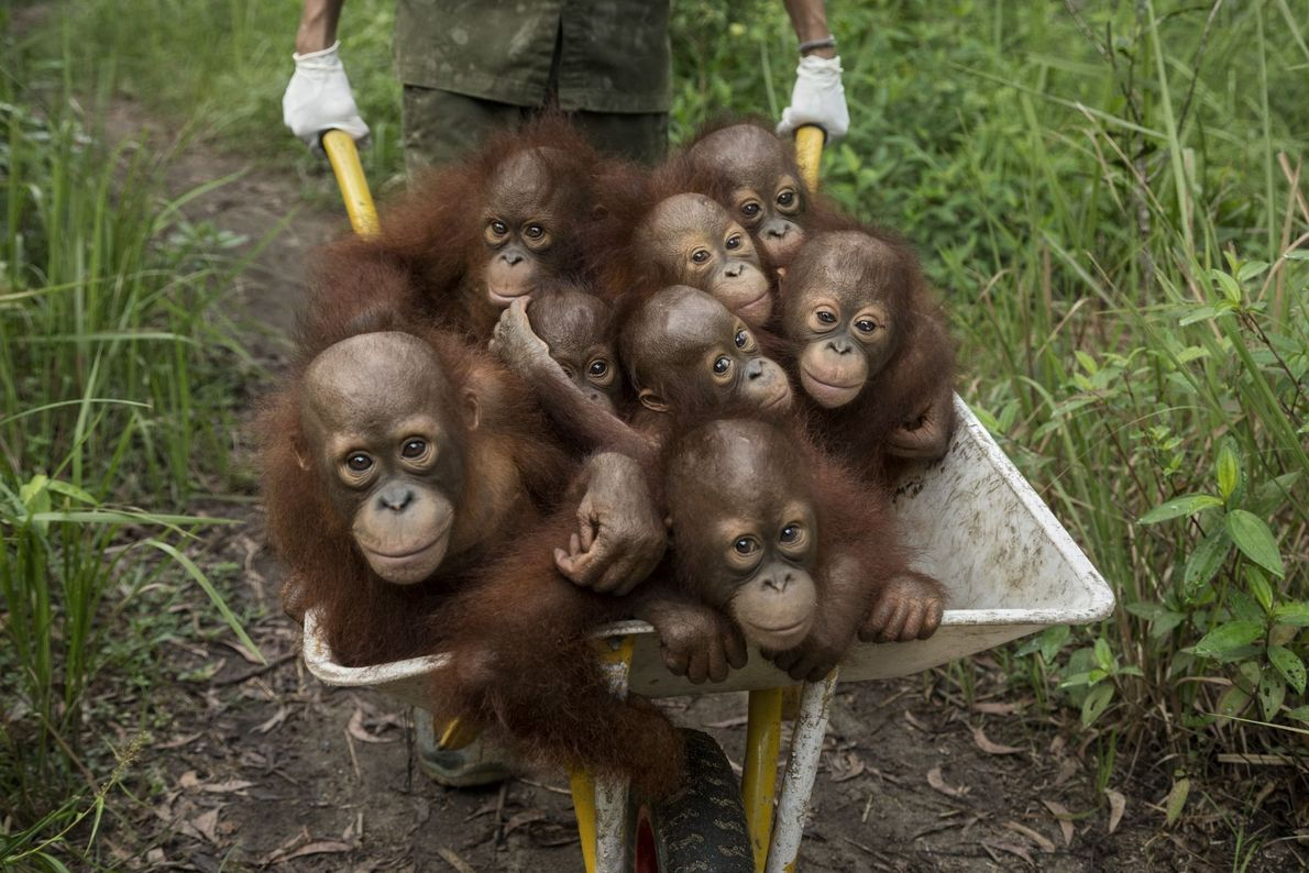 Orphaned Apes