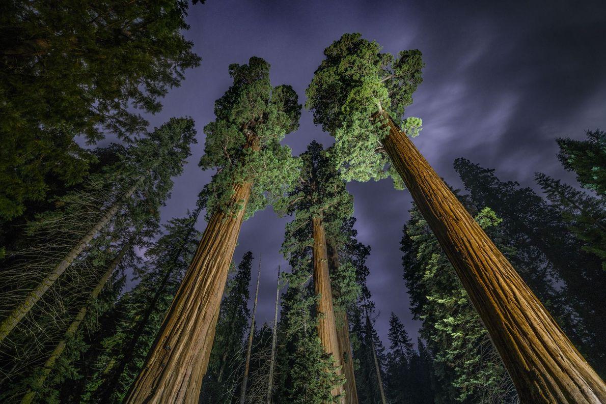 Towering Sequoias