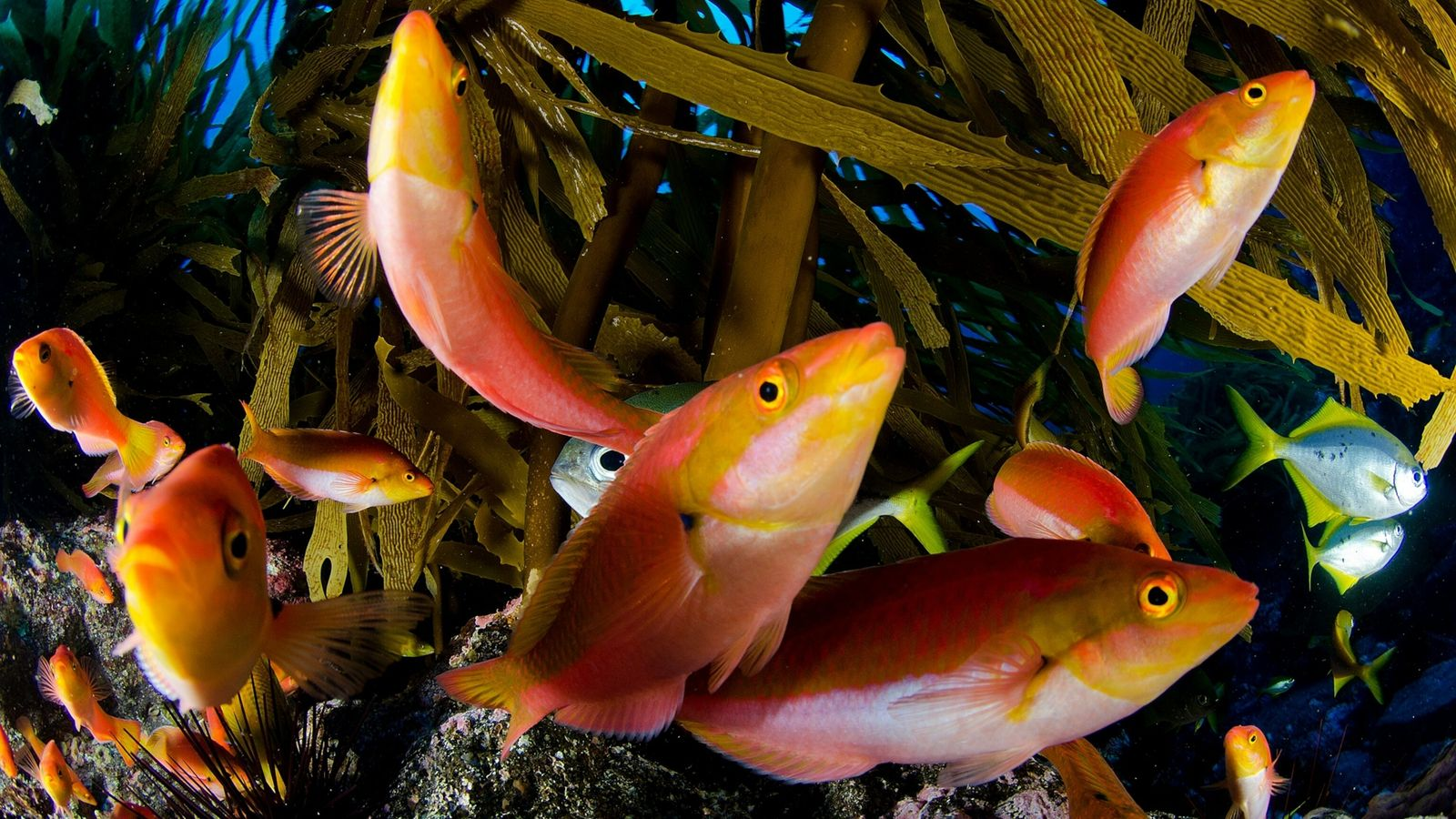 gay-wrasses-desventuradas