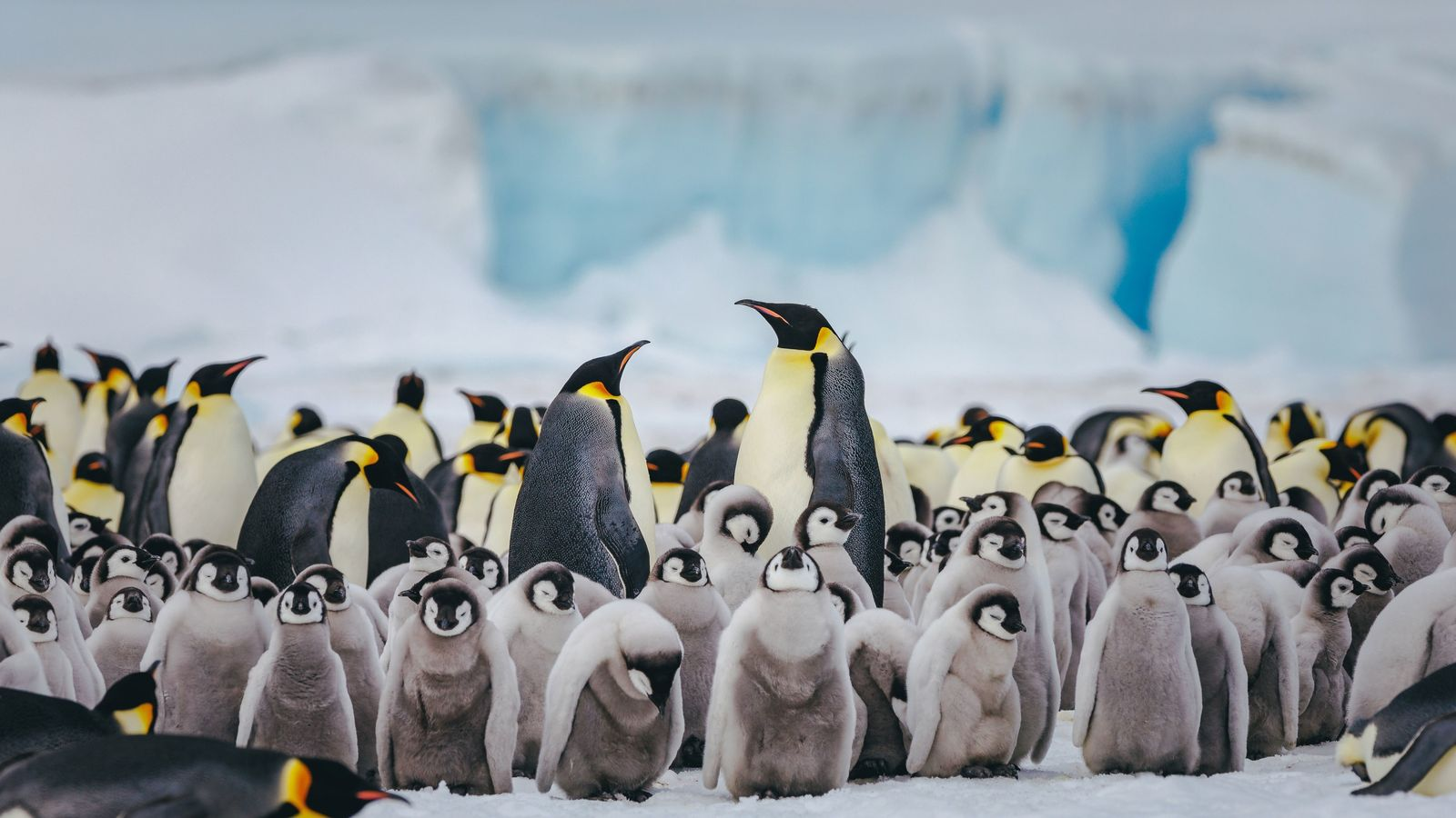 Emperor penguins at Snow Hill Island, located east of the Antarctic Peninsula.