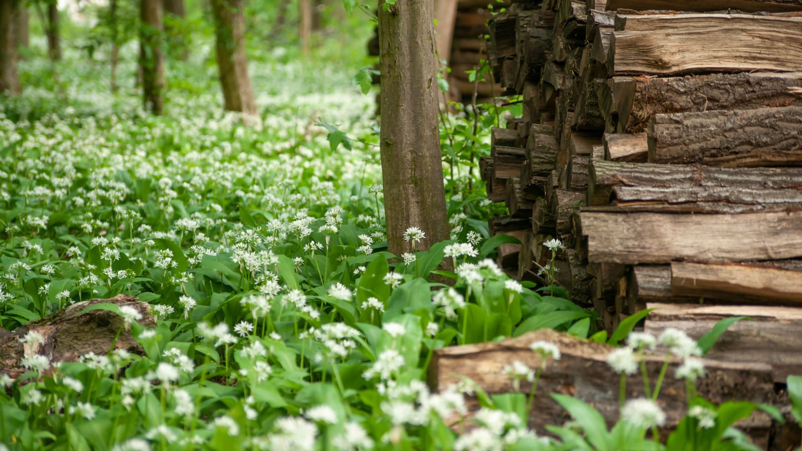 Wild garlic is a popular pick, springing up in moist soils in woodland, hedgerows and alongside rivers ...