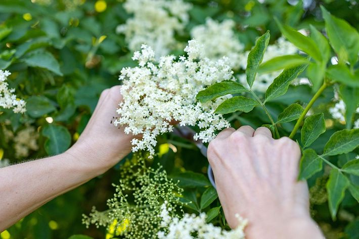 Elderflower has upward-pointing sprays of creamy white flowers. Its delicate scent is excellent for making cordial and ...