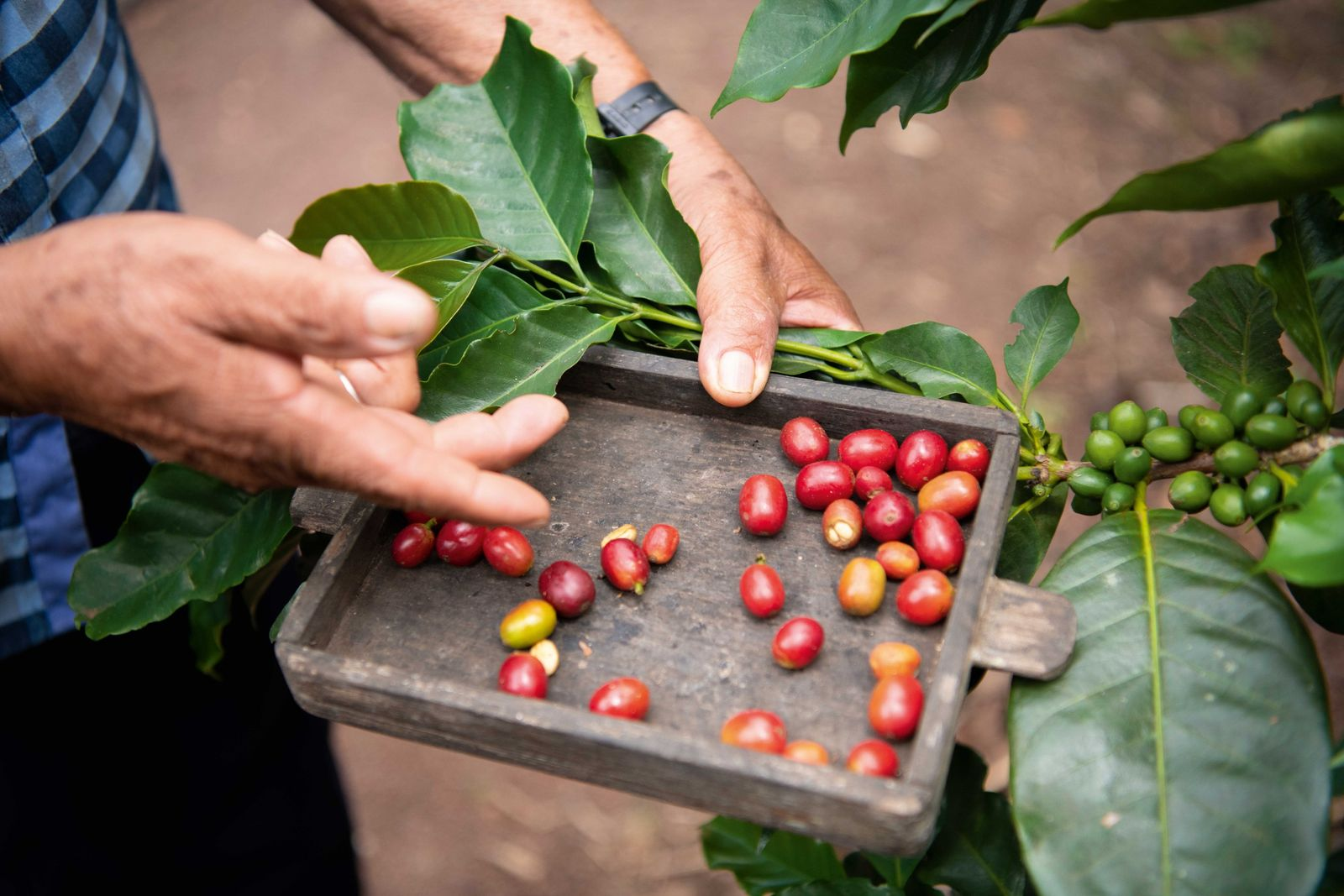 Demand for high-quality coffee has grown; as such, so has the importance of the crop on ...