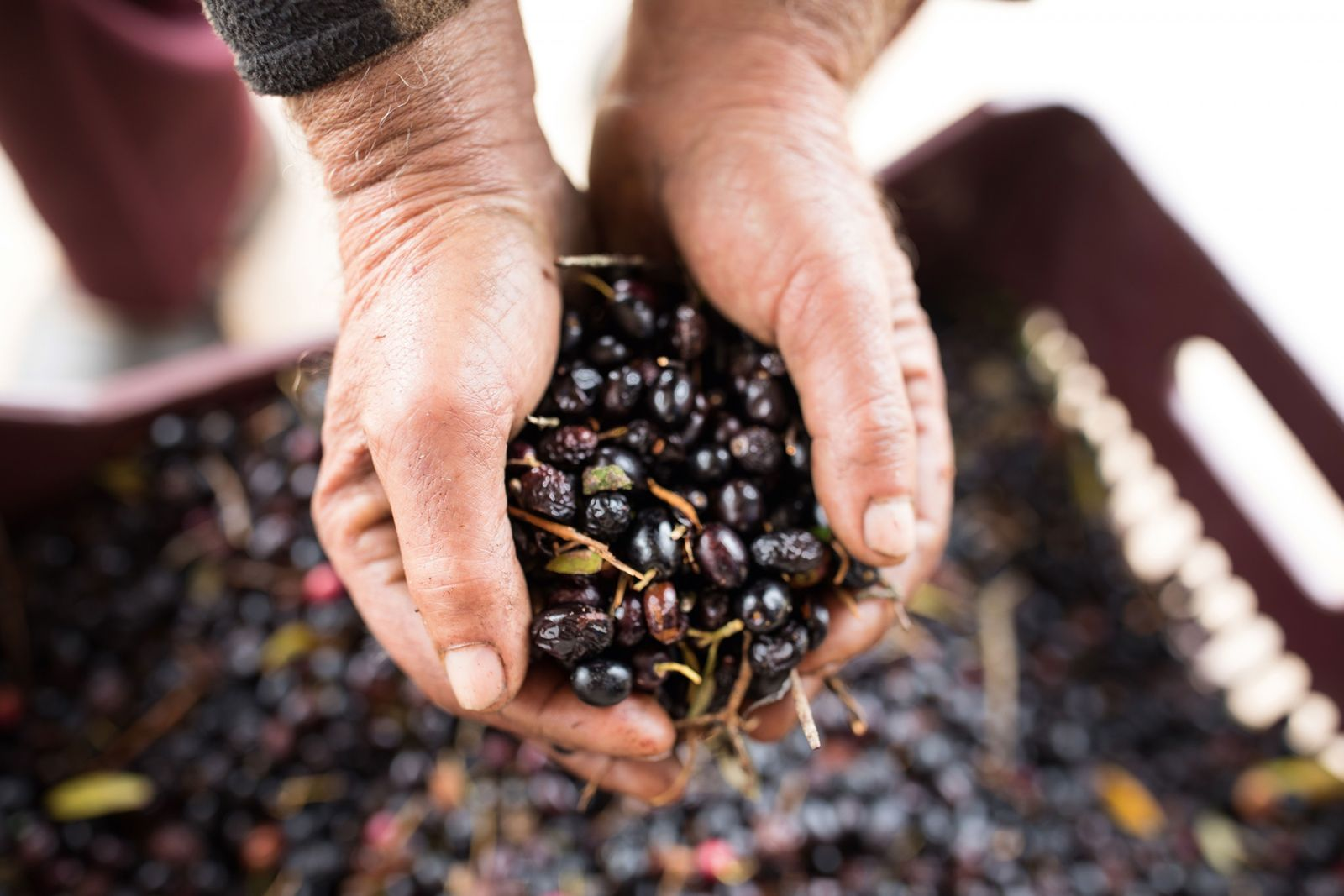 Olive oil production dates back millennia in Greece — it was described by Homer as 'liquid ...