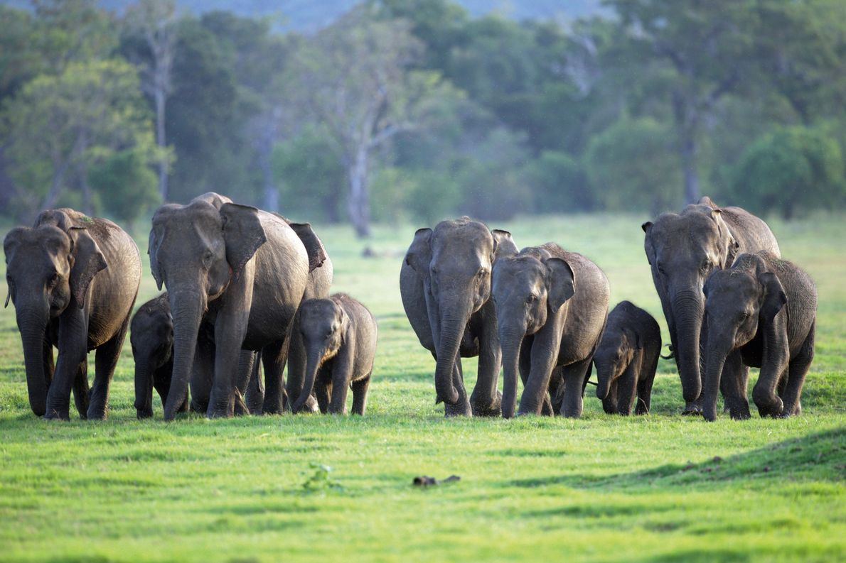 Sri Lanka: the secrets behind Asia's mightiest elephant migration